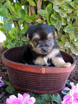 Buttercup Perkins -  Yorkie-Poo Puppy Reserved
