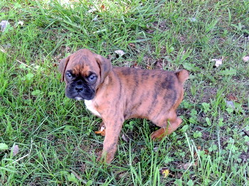Spencer Hershberger -  Boxer Puppy Reserved