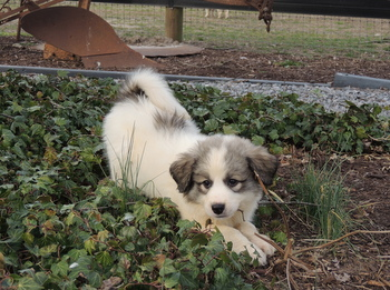 Snowball -  Great Pyrenees Puppy For Sale