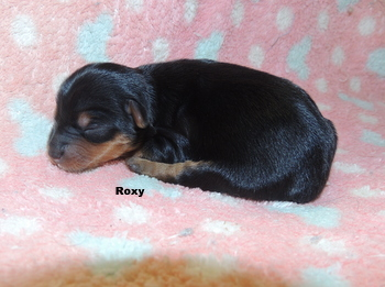 Roxy Washington -  Yorkshire Terrier Puppy Reserved