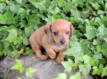 Pearl Smith -  Dachshund Puppy Reserved