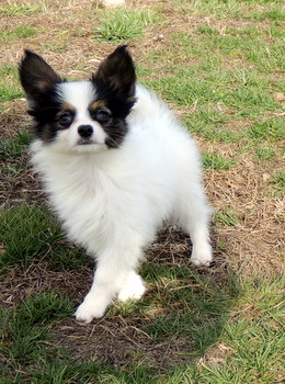 Sam -  Papillon Puppy Reserved