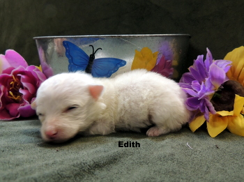Edith -  Bichon Frise Puppy Reserved