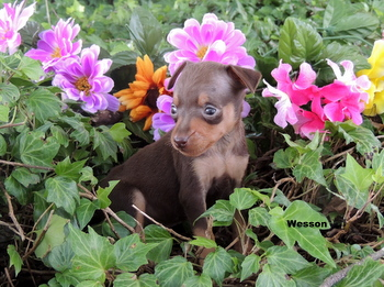 Wesson Lombardi -  Miniature Pinscher Puppy Reserved