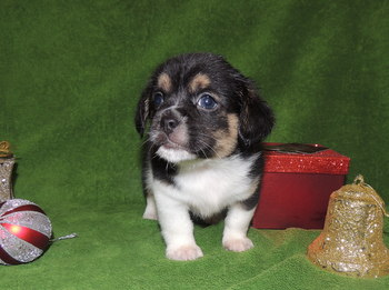 Woody -  Bea-Tzu Puppy For Sale