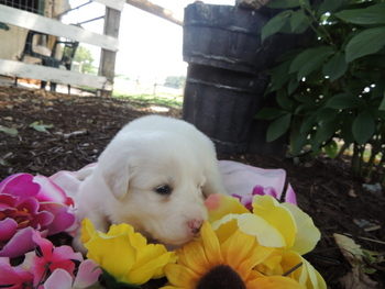 Winter -  Great Pyrenees Puppy For Sale
