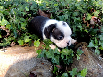 Melody -  Boston Terrier Puppy Reserved