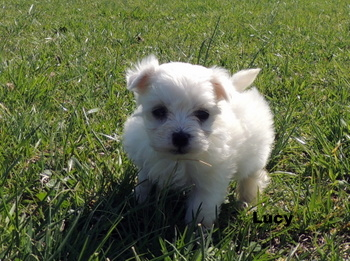Lucy Winkler -  Maltese Puppy Reserved