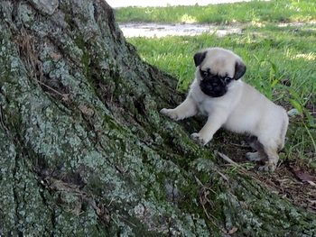 Claire Leonard -  Pug Puppy Reserved