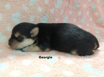 Georgie Turnbull -  Morkie Puppy Reserved