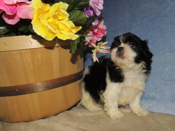 Webster -  Shih Tzu Puppy Reserved