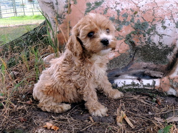 Ginger Nickerson -  Cockapoo Puppy Reserved