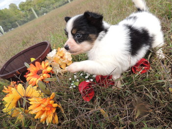Coco -  Papillon Puppy Reserved