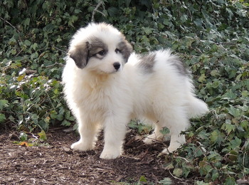 Jacey -  Great Pyrenees Puppy For Sale