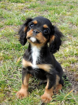 George -  Cavalier King Charles Spaniel Puppy For Sale