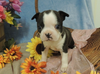 Roscoe Mallory -  Boston Terrier Puppy Reserved