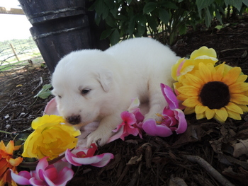Lightning -  Great Pyrenees Puppy Reserved