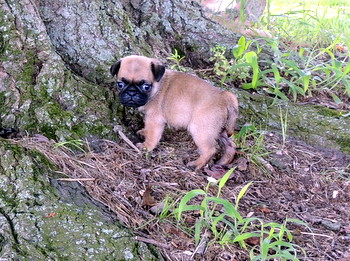 Kylie Beaumont -  Pug Puppy Reserved