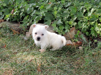 Bolt -  West Highland White Terrier Puppy For Sale