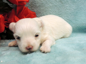 Melody -  Maltese Puppy For Sale