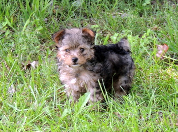 Weasel Grimes -  Yorkie-Poo Puppy Reserved