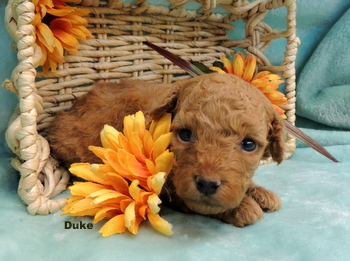 Duke Nong -  Poodle Puppy Reserved