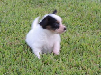 Kira -  Papillon Puppy For Sale