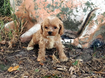 Grace McPeek -  Cockapoo Puppy Reserved