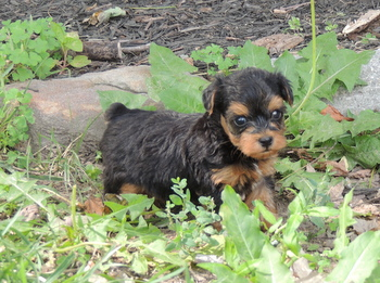 Lizzy Bella Quailes -  Yorkie-Poo Puppy Reserved