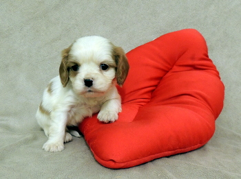 Wickham -  Cavalier King Charles Spaniel Puppy For Sale