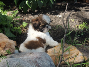 Emma -  Shih Tzu Puppy For Sale