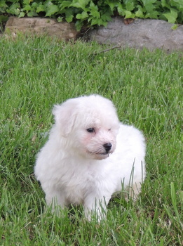 Toby -  Bichon Frise Puppy For Sale