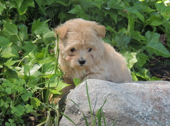 Cookie -  Malti-Poo Puppy For Sale