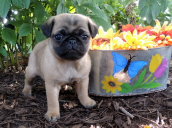 Cookie Herpich -  Pug Puppy Reserved