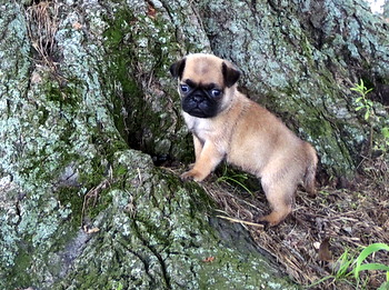 Elena George -  Pug Puppy Reserved