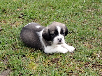 Rover  -  Bea-Tzu Puppy For Sale