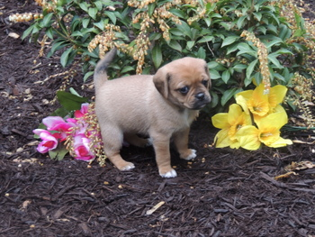Delilah -  Puggle Puppy For Sale
