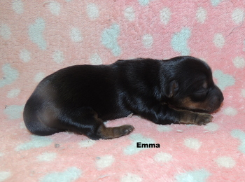 Emma -  Yorkshire Terrier Puppy For Sale
