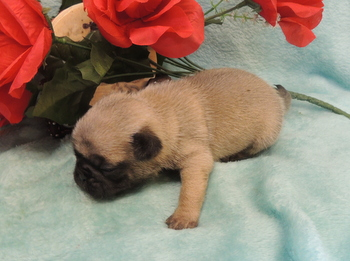 Lucy Smith -  Pug Puppy Reserved