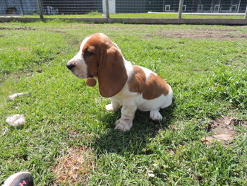 Shadow -  Basset Hound Puppy Reserved