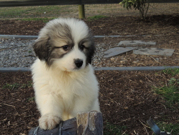 Star -  Great Pyrenees Puppy For Sale
