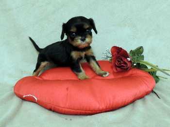 Charlotte -  Cavalier King Charles Spaniel Puppy For Sale