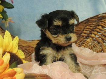 Lucy -  Yorkie-Poo Puppy Reserved