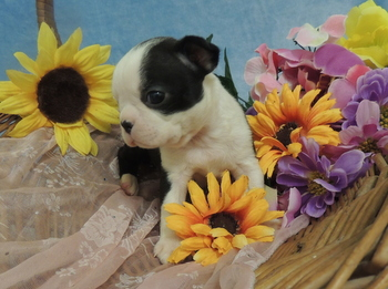 Daisy -  Boston Terrier Puppy For Sale