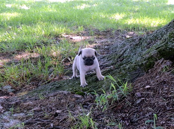 Zoey M Settino -  Pug Puppy Reserved