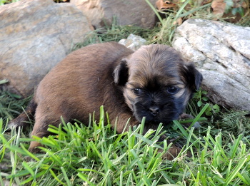 Annie -  Shih Tzu Puppy For Sale