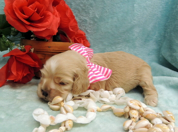 Frances Downes -  Cocker Spaniel Puppy Reserved