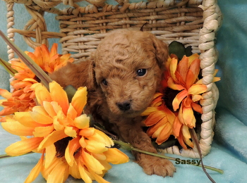 Sassy Johnson -  Poodle Puppy Reserved