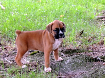 Storm Anderson -  Boxer Puppy Reserved