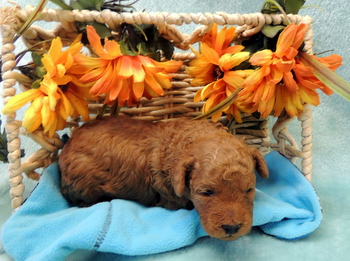 Buzz -  Poodle Puppy For Sale